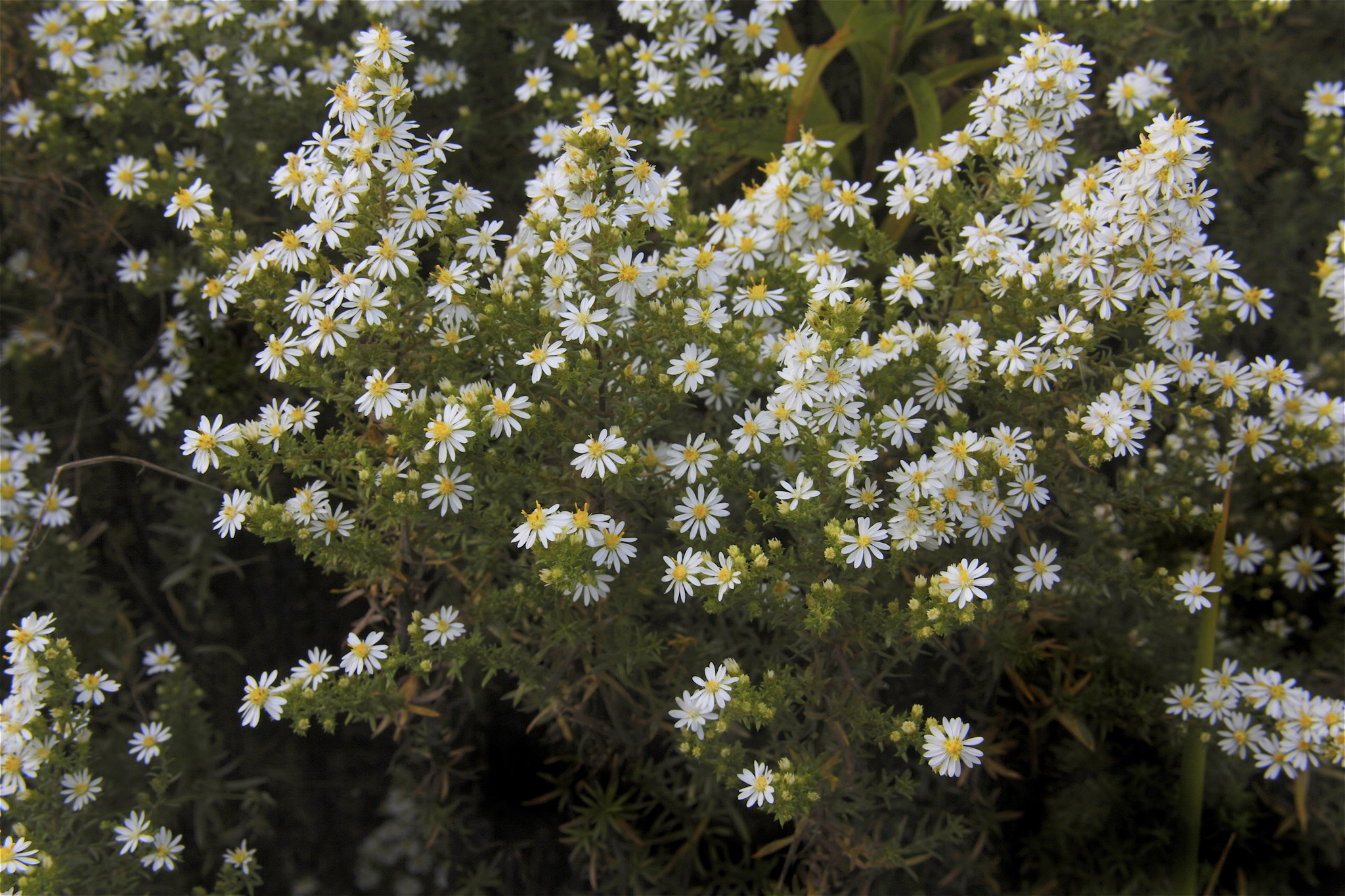 The many tiny blooms of White heath aster. They are, in fact, white with yellow 'eyes.'