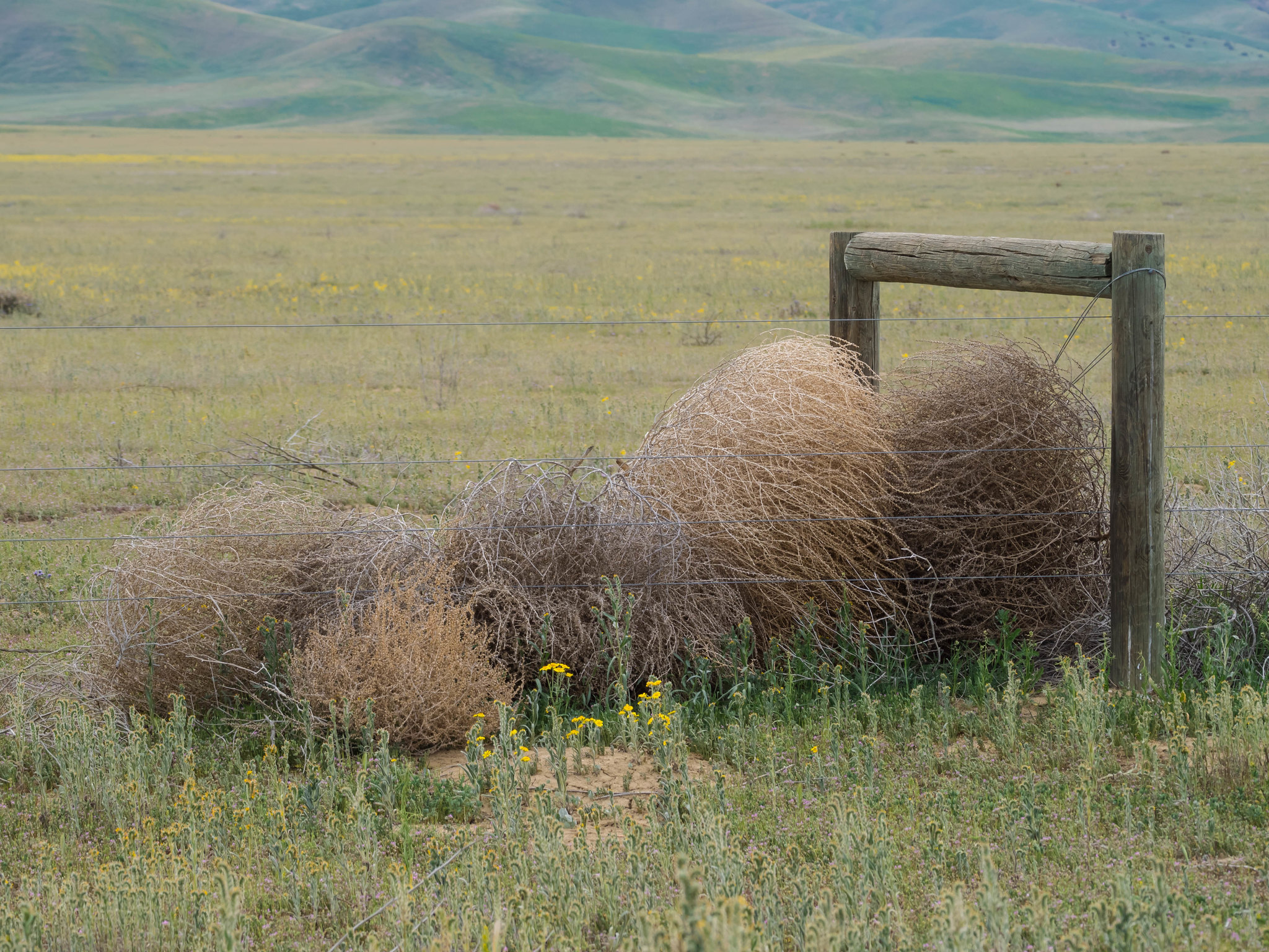 A whole family of tumbleweeds bunched up against a fence.
