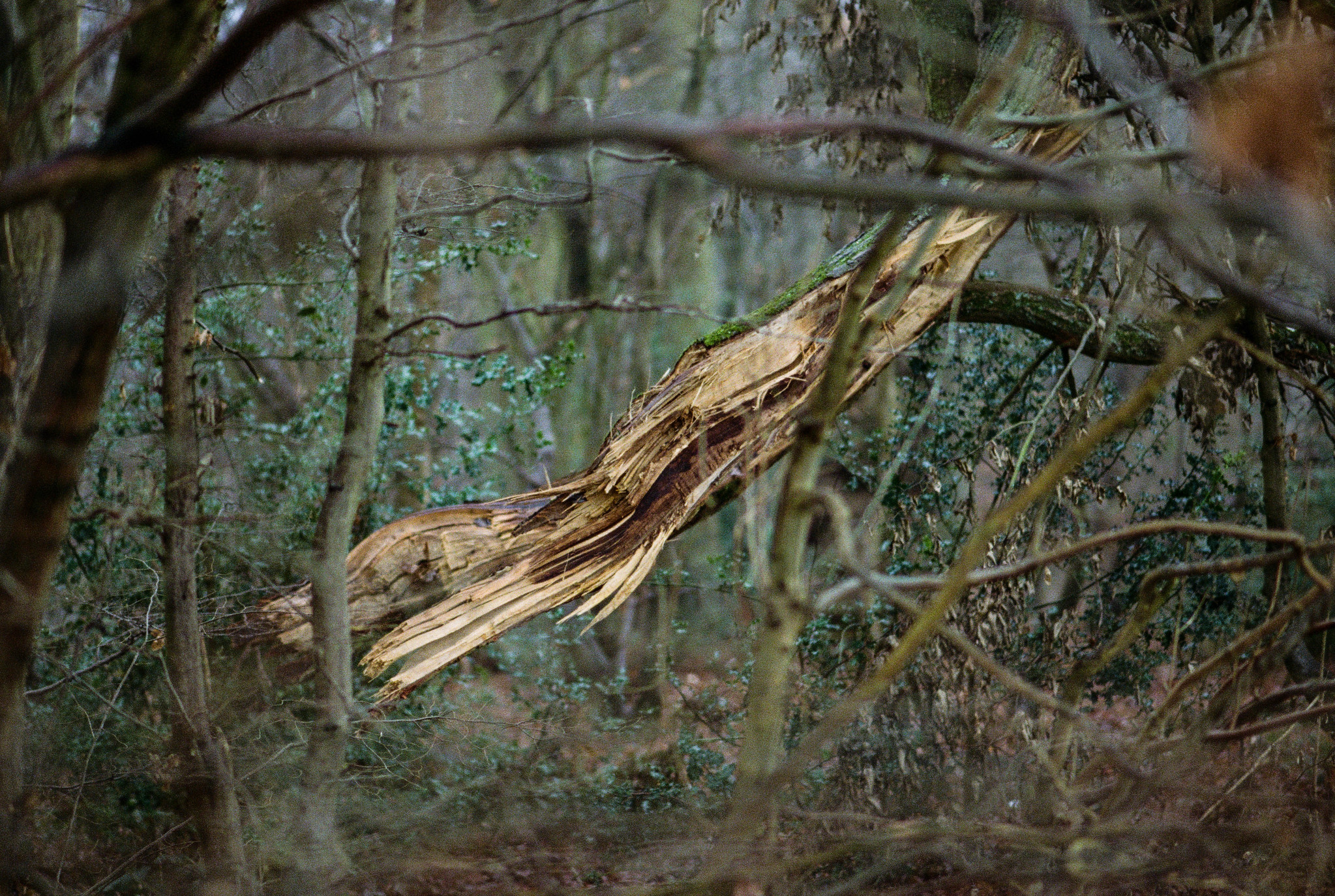 A felled tree in a dense woodland, with its splintered heartwood exposed.